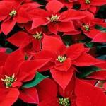 Vendevano stelle di Natale per finanziare la criminalità organizzata, arrestati dalla GdF di Fiumicino (VIDEO)