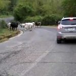 Carpineto Romano. Ancora bovini pericolosamente in strada. Ma anche cavalli nel cortile della Scuola Media… [Foto]
