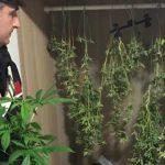 Cecchina. Insospettabile signora 64enne coltivava in casa piante di marijuana che essiccava appese come grucce nell'armadio. Arrestata dai Carabinieri