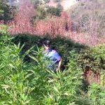 Civitella San Paolo. Scoperta dai Carabinieri un'estesa piantagione di marijuana. In manette un 45enne del posto [Video]